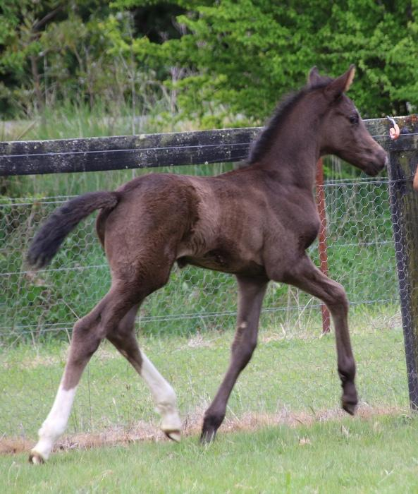Franklin x Don Schufro Stunning Black Colt!
