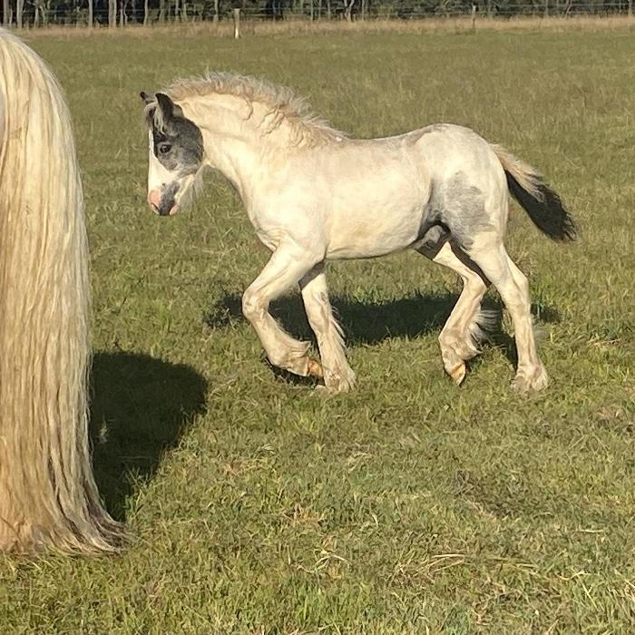 "Pure Bred Gypsy Cob ""DR Outlaw"""