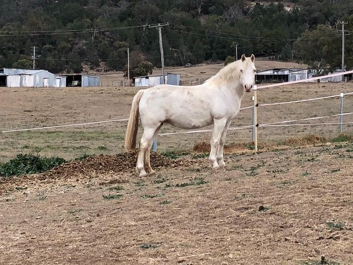 Cremello Welsh B mare - guaranteed dilute foals