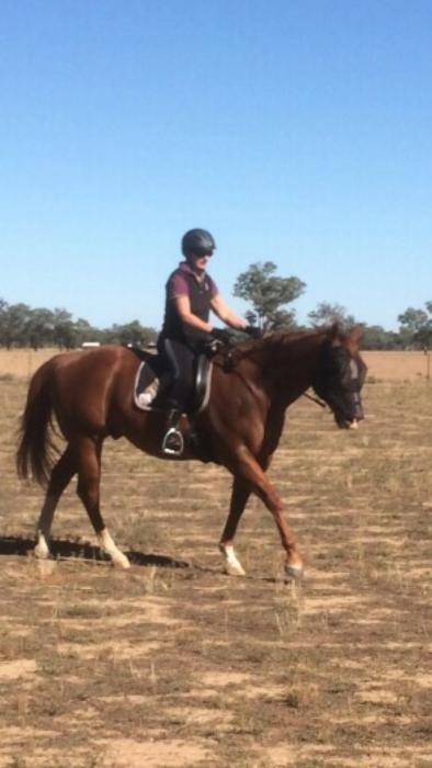 Handsome Quarter Horse Gelding