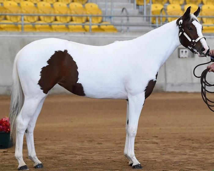 Tobiano Paint registered Filly