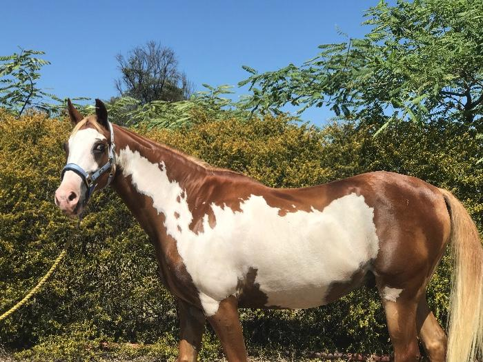 Gorgeous dressage gelding