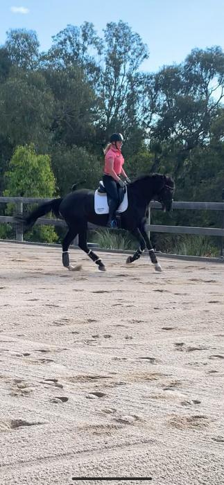 Dressage or Eventing prospect ( price negotiable)