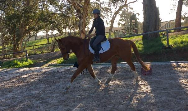 Flashy WB gelding