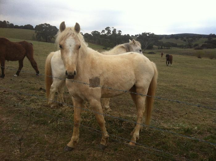Lovely B Gelding (Part Bred)