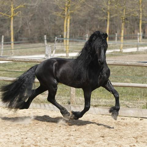 7 year old Gorgeous, Super kind, frisian gelding