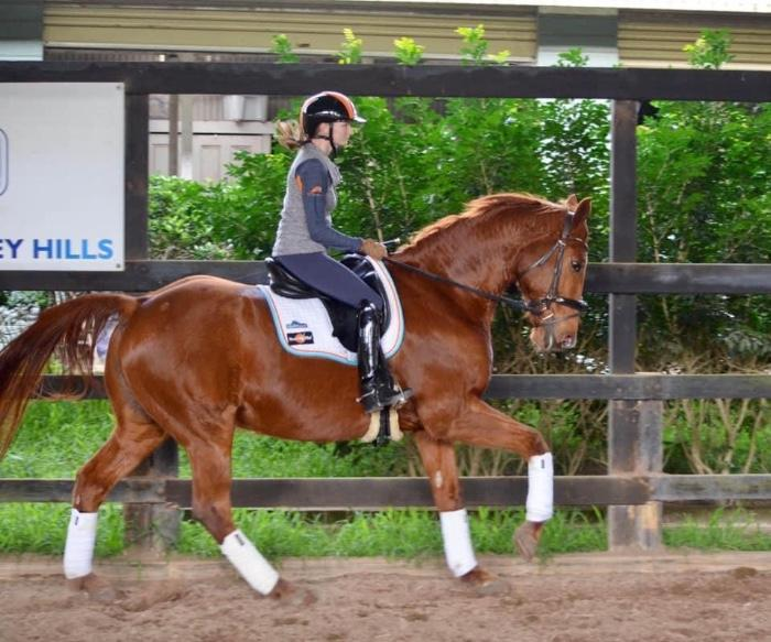 Talented medium level Warmblood for sale