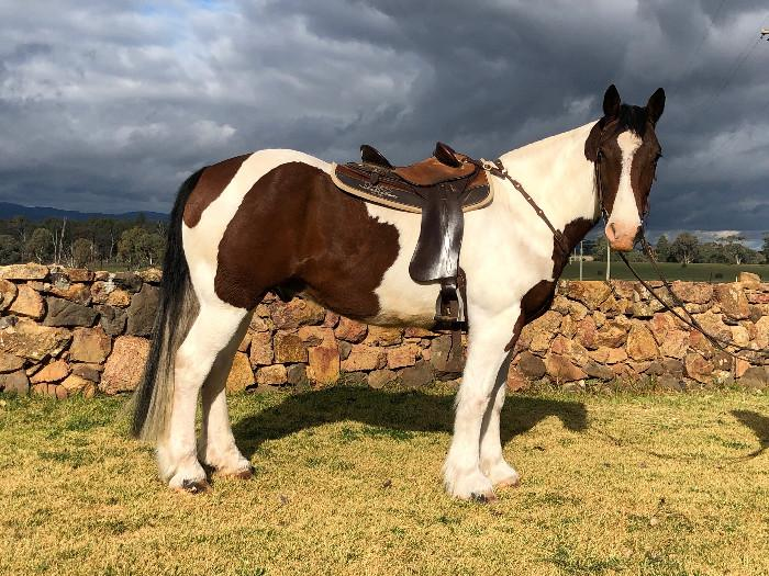Flash Clydie Cross Gelding