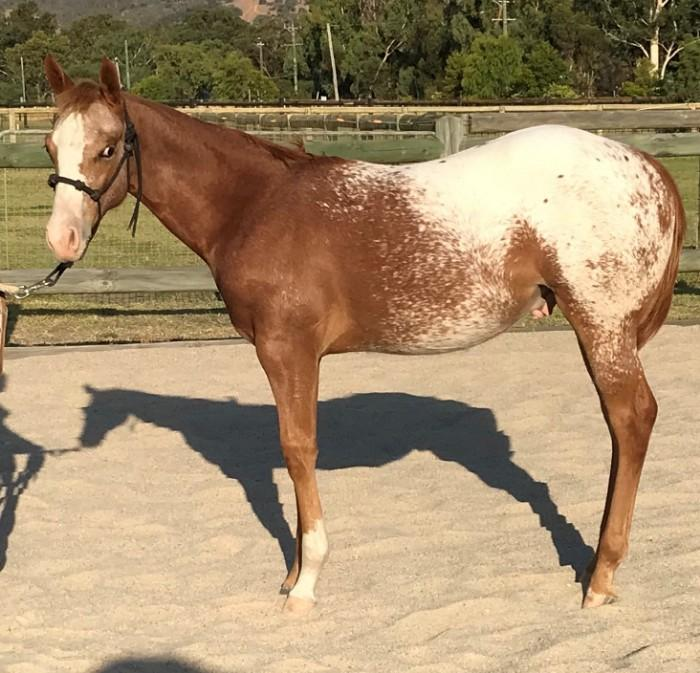 Amazenly Grateful (PC641) Weanling Appaloosa Colt