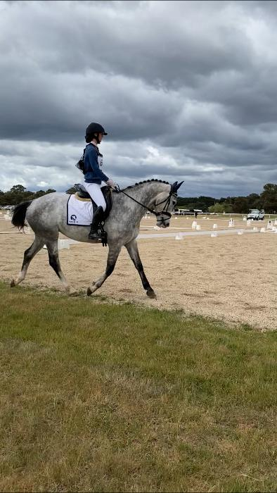 Performance warmblood mare