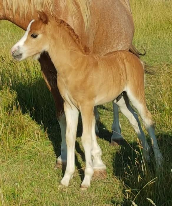 Welsh Mountain pony colt foal