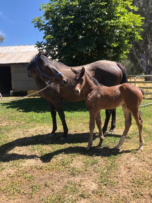 Arko III Filly Foal and TB broodmare