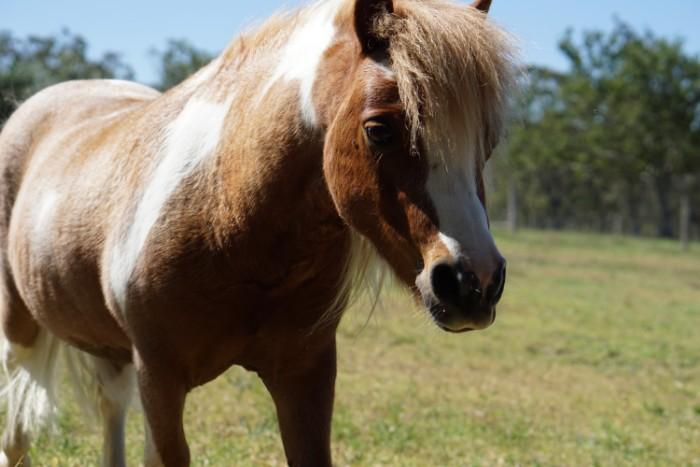 Snickers - Miniature Pony Gelding