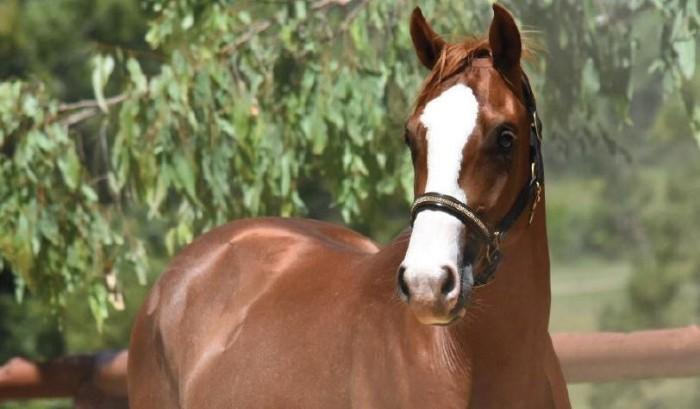 EQUITANA 2018 Auction - Bellhaven Patriot (SJ)