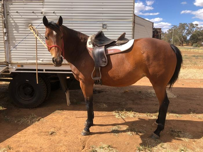 Stock horse 4yo Filly