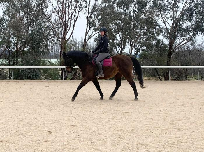 ANDALUSIAN X STOCK HORSE GELDING
