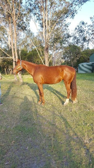 Quality broodmare or riding