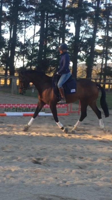 Weltissimo x dressage/show horse for sale