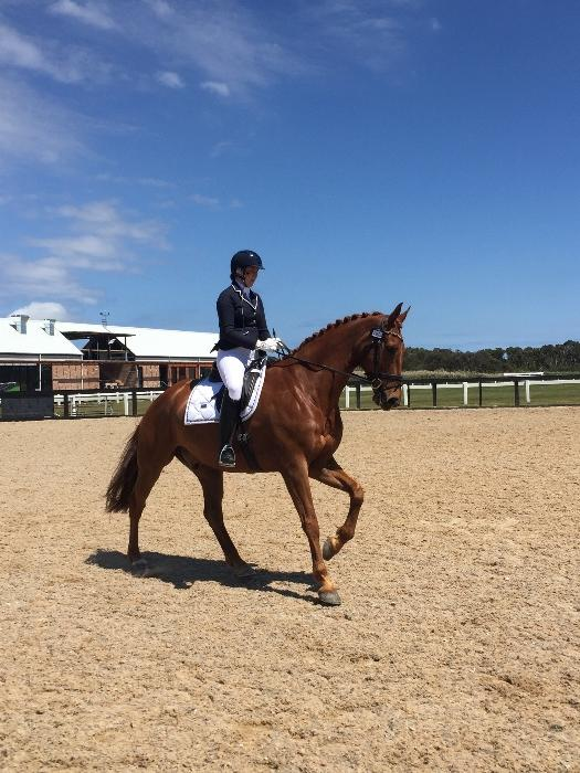Competitive Dressage Warmblood