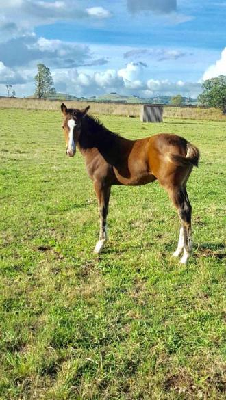 Cohan as a foal