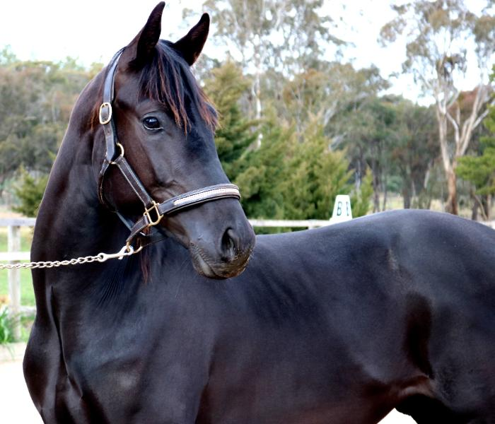 Looking to import your next dressage stallion?