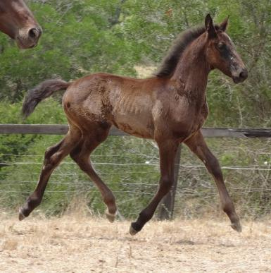 Courtland's Collins by Casanova