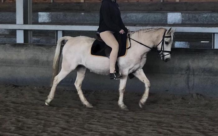 Welsh pony pally mare 14yoa 12.1hh