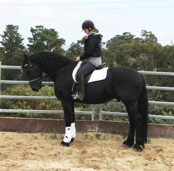 Stunning Friesian stallion Amadeus of Oakside