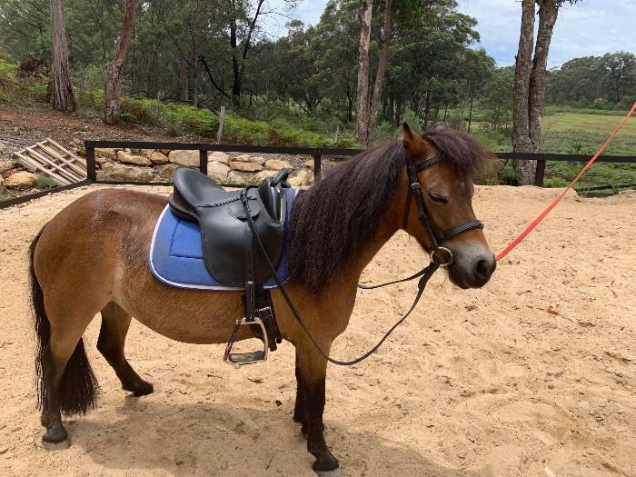 Miniature Ponies For Sale Miniature Ponies Horsezone