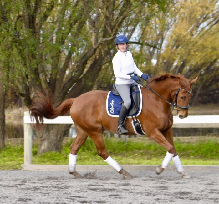 Dressage Warmblood