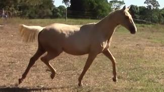 EXCEPTIONAL IFS PALOMINO FILLY