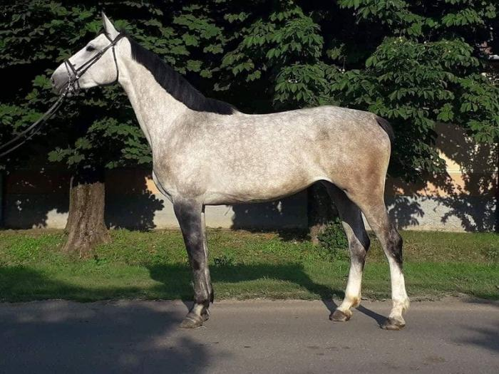 4 Years Old Hungarian Mare Sport Horse