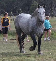 Lovely Percheron gelding priced to sell
