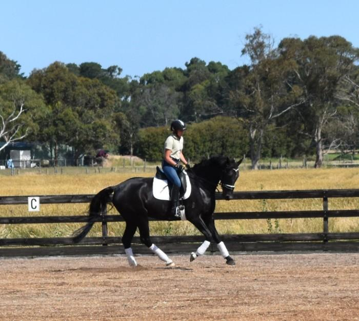 Easy Going Black Warmblood Gelding