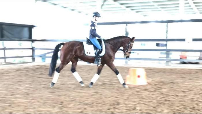 Honest and Versatile Warmblood mare