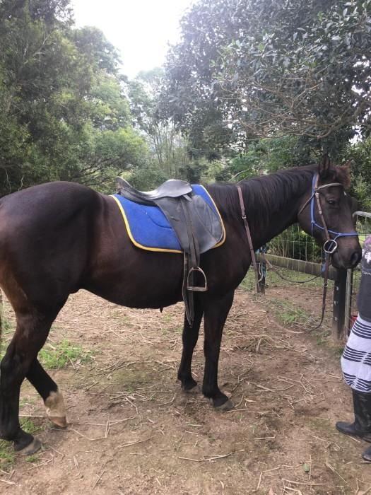 Stock Horse/Quarterhorse 14.2hh 18 yrs suit adults