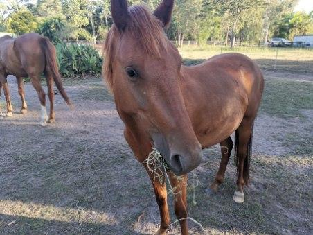 Yearling stock horse cross