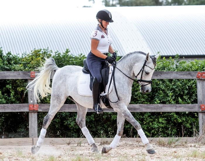 Gorgeous Grey Arabian Gelding