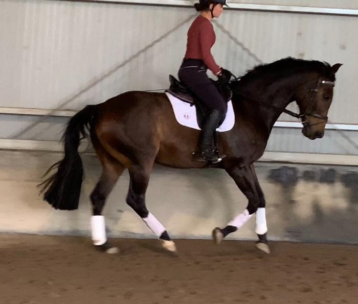PRICE REDUCED! Silverdene Playmate. WB DSG Gelding