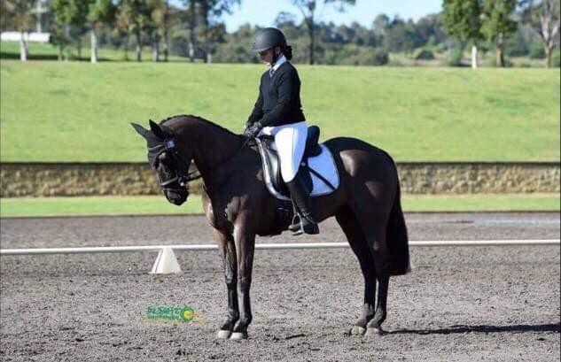 14.2hh 10 year old black Stock Horse gelding