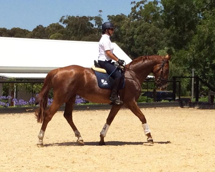 Exception 3 y/o Dressage/Eventer/Showjumper