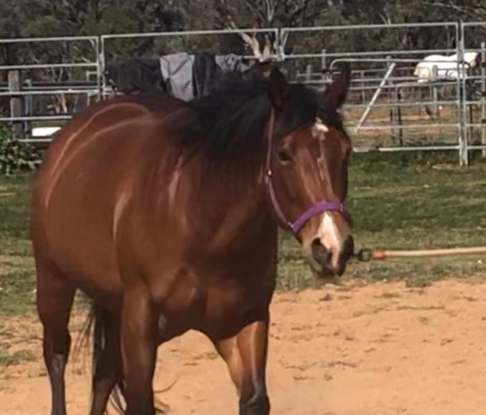 Lady Loper  QH 4 yo mare by the great Lazy Loper