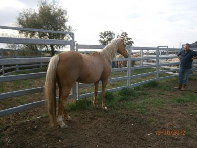 Palomino Mare side rear view