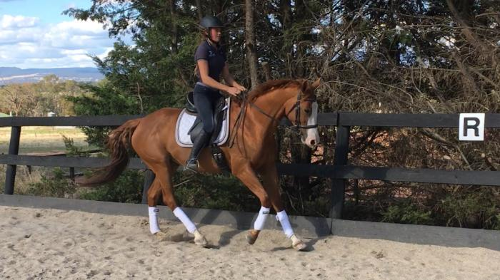 Super flashy & talented dressage mare