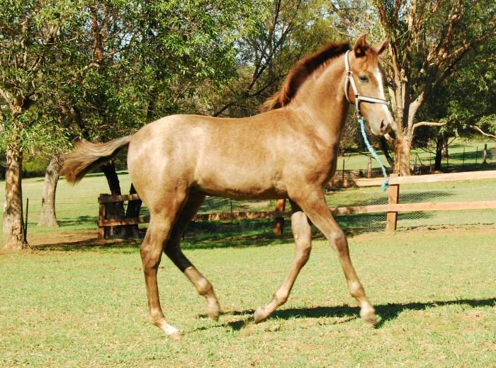 American Saddlebred x filly Grose Vale NSW