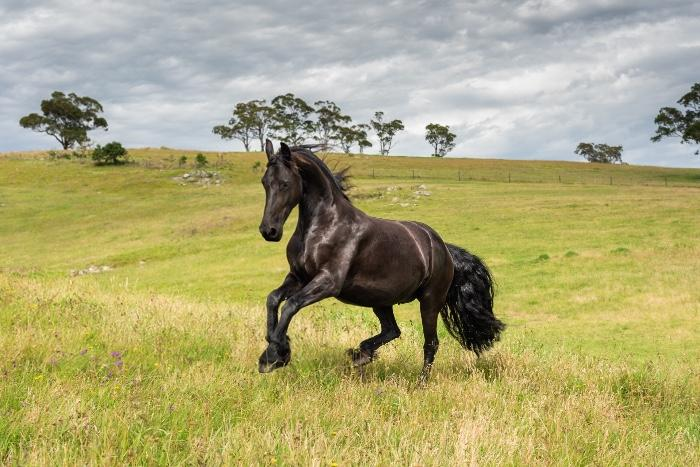 Friesian Foalbook Mare