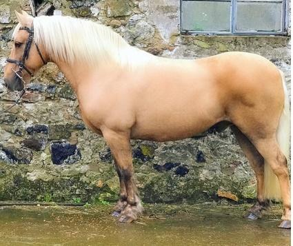 Kid safe Palomino Mare