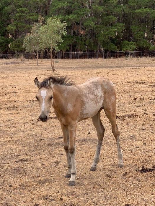 Buckskin arabian pony weanling filly