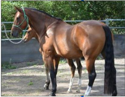 Beautiful 6yr old Belissimo M mare proven breeder