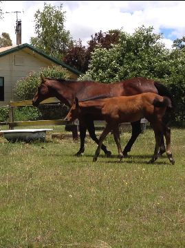 Corways Hollywoods Gift & Foal